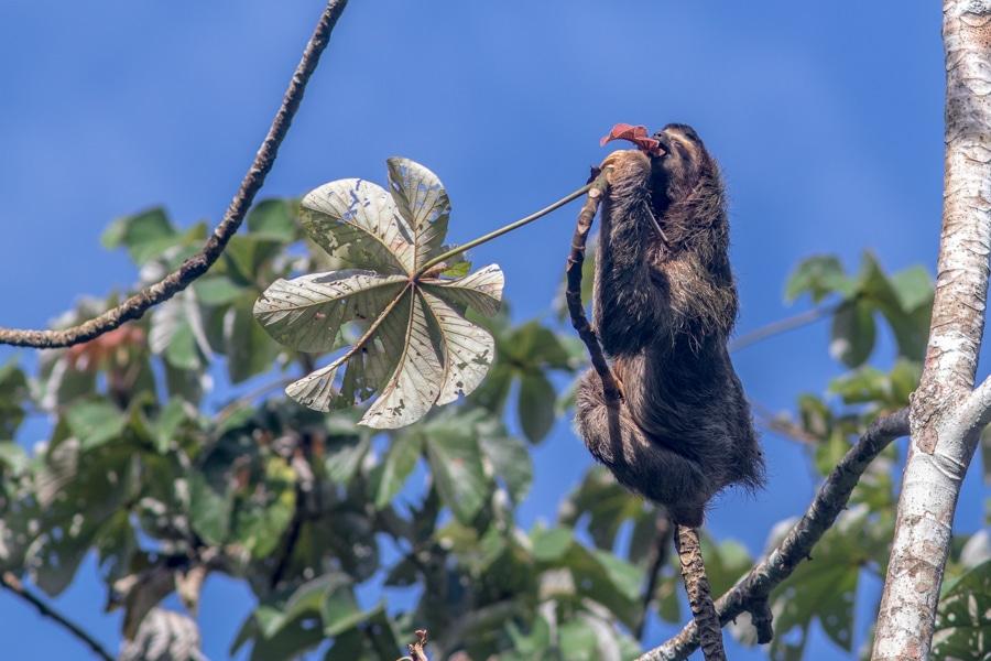 Brown-throated Three-toed Sloth Panama Mammals Whitehawk
