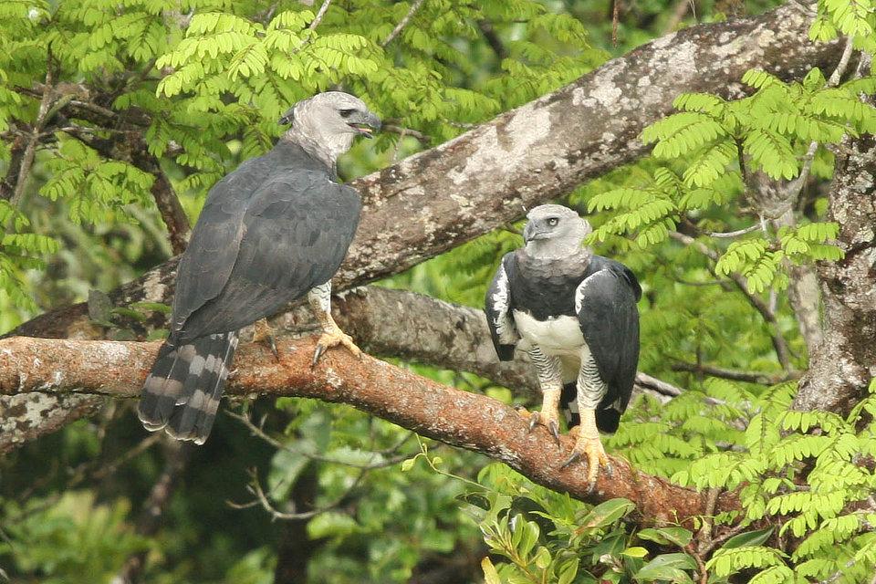 Harpy Eagle Panama Birding Whitehawk