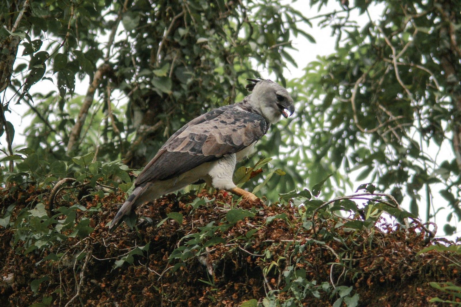 Juvenile Harpy Eagle Panama Birding Whitehawk