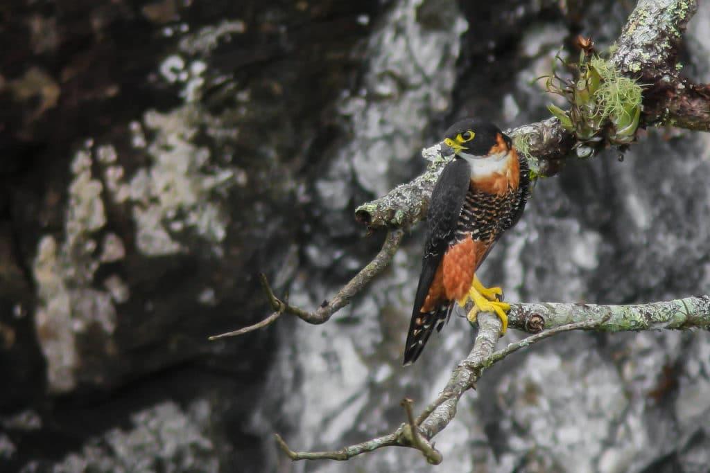 Orange-breasted Falcon Panama Whitehawk Birding