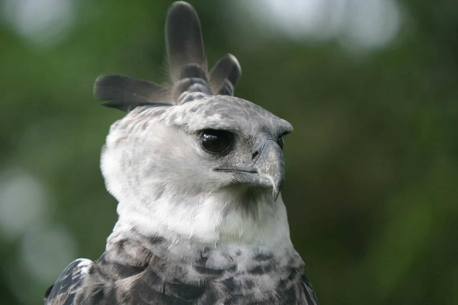 Harpy Eagle Panama Whitehawk Birding