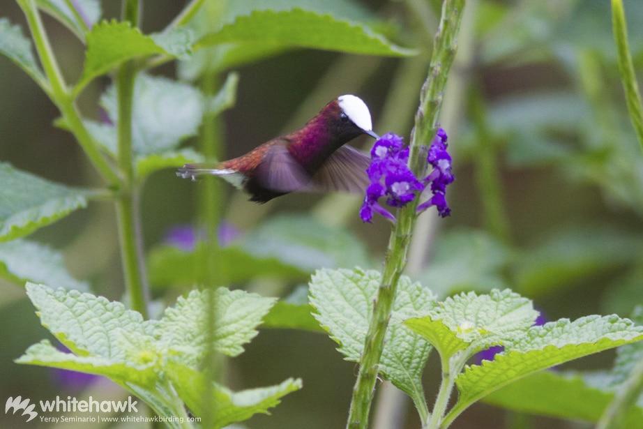 Snowcap Costa Rica Whitehawk Birding