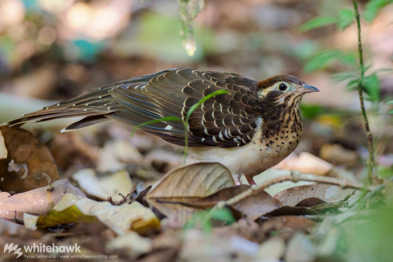Pheasant Cuckoo Panama Whitehawk Birding