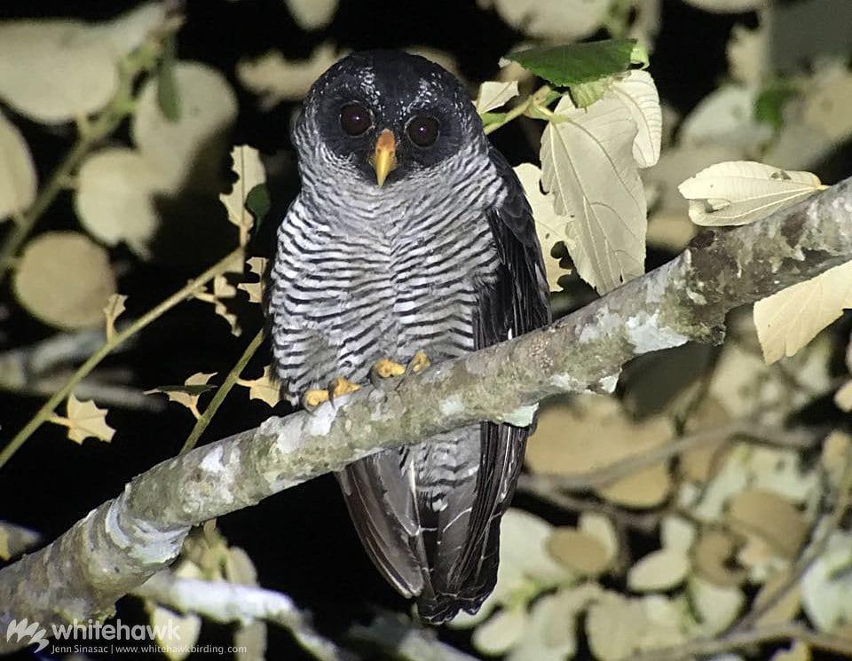 Black-and-white Owl Panama