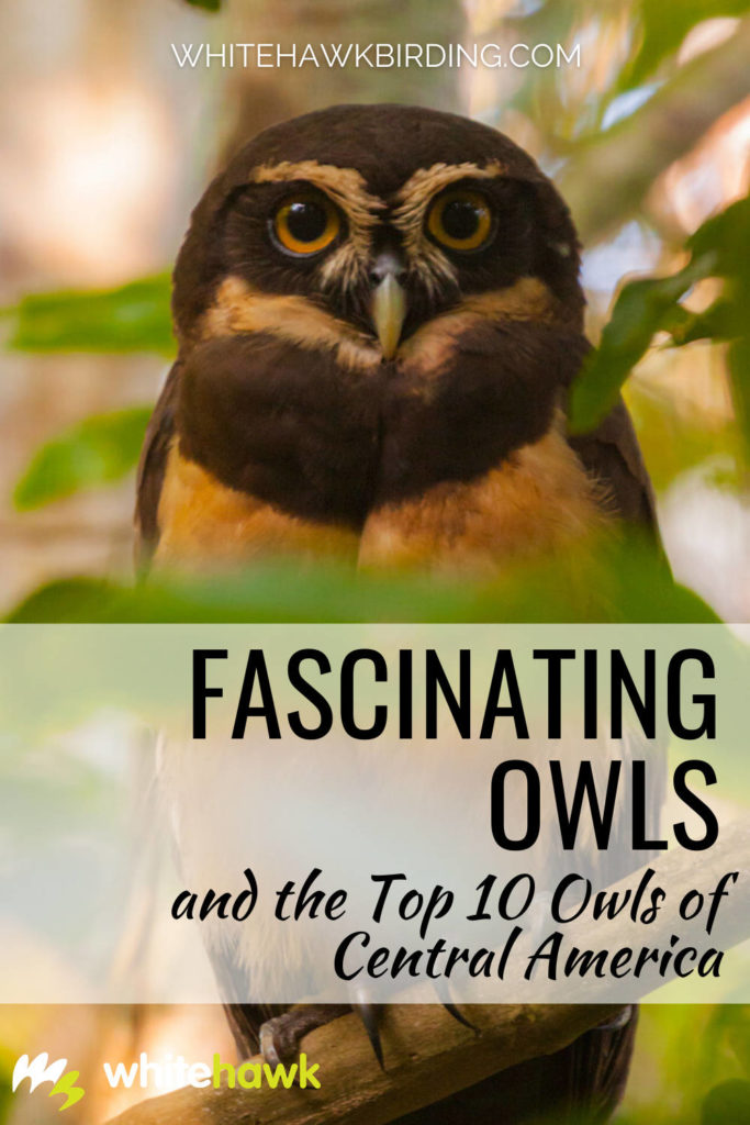 Fascinating Owls and Our Central American Top 10 - Whitehawk Birding: Owls are some of nature's most fascinating and misunderstood creatures. They have many amazing adaptations! Learn about owls and discover some of Central America's most notable species.