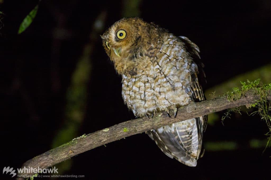 Bare-shanked Screech-Owl Panama