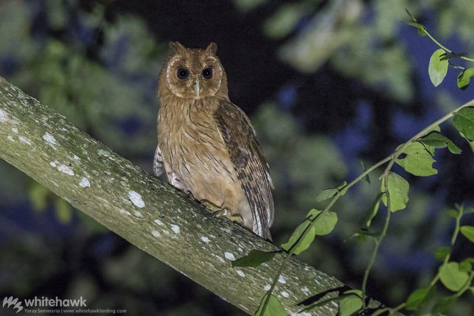 Jamaican Owl Jamaica