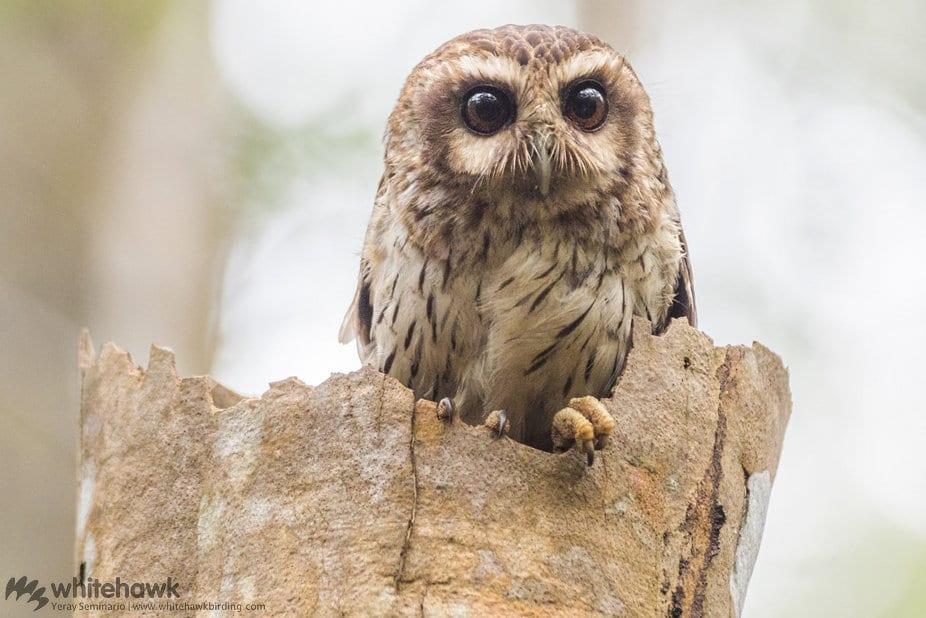 Bare-legged Owl Cuba