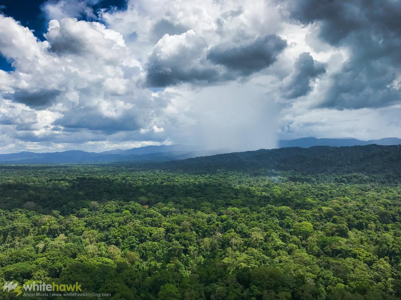 Darien Rainforest Panama Whitehawk Birding