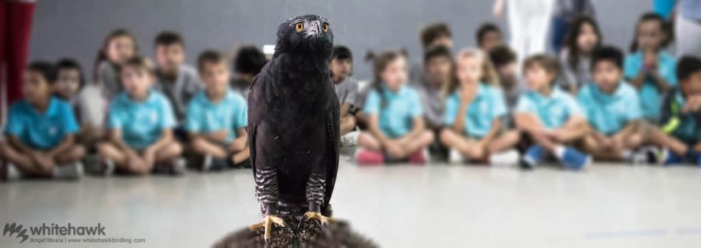 Black Hawk-Eagle Environmental Education Panama Whitehawk Birding