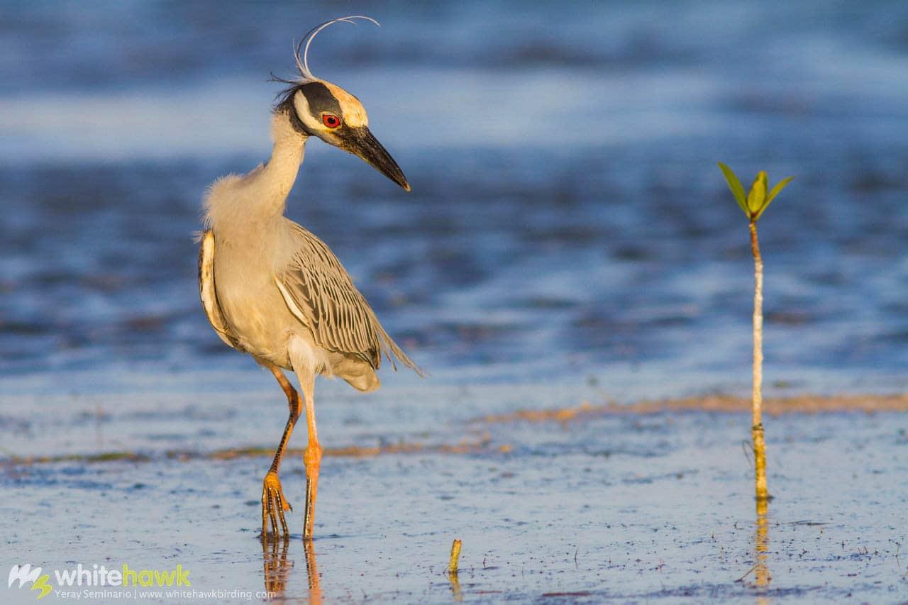 Yellow-crowned Night-Heron Belize Whitehawk Birding