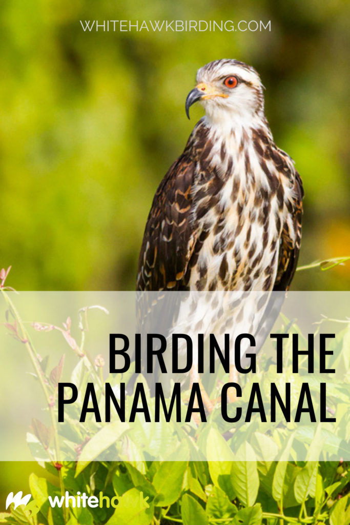 Birding the Panama Canal - Whitehawk Birding: The Panama Canal is famous for many reasons, but it is also a great place for birdwatching! A morning on the Canal and Gatun Lake will dazzle any beginner or advanced birder alike.