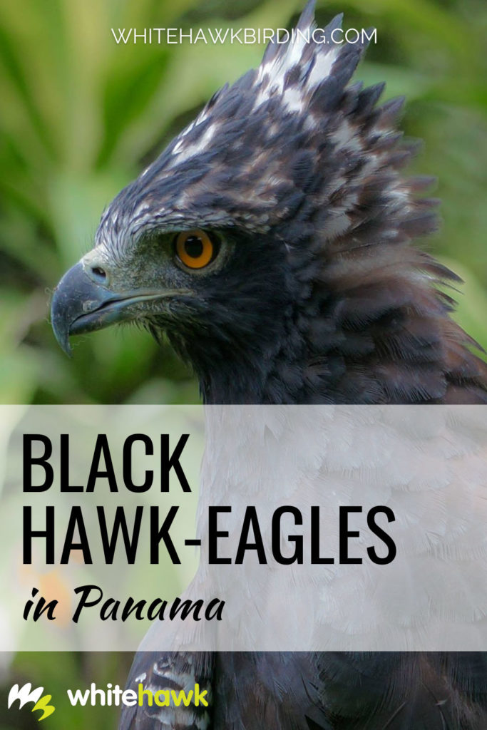 Black Hawk-Eagles in Panama - Whitehawk Birding: One of the majestic raptors of the Panamanian rainforests is the Black Hawk-Eagle, learn all about this beautiful bird of prey.