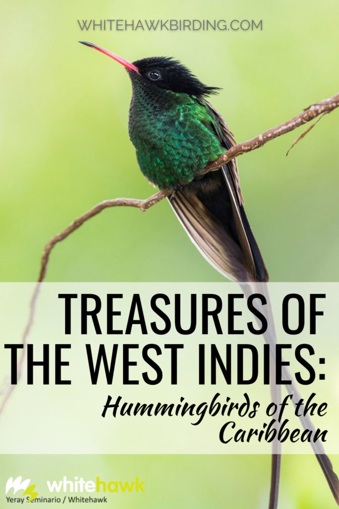 Treasures of the West Indies: Hummingbirds of the Caribbean - Whitehawk Birding: The Caribbean Islands are home to some of the most beautiful and fascinating hummingbirds in the world. Discover these amazing gems here.