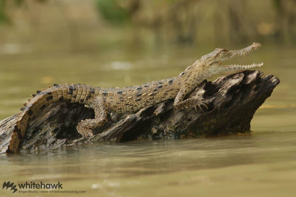 American Crocodile Whitehawk Birding