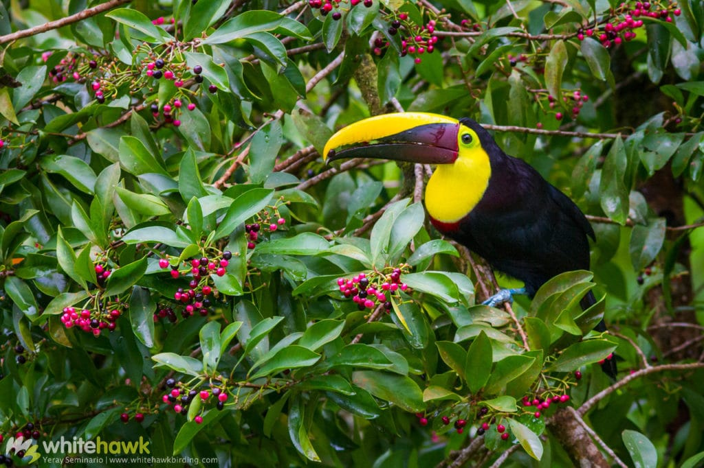 Yellow-throated Toucan Costa Rica Whitehawk Birding