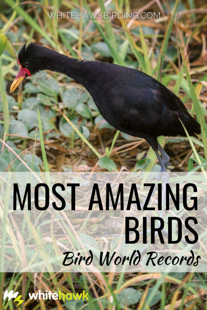 Most Amazing Birds: Bird World Records - Whitehawk Birding: What's the smallest bird in the world? What bird holds the record for fastest flight? Or sharpest hearing? Find out all this and much more about the most amazing birds!