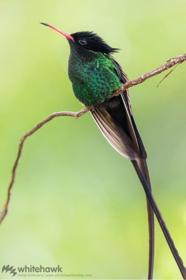 Streamertail a Caribbean Endemic Hummingbird