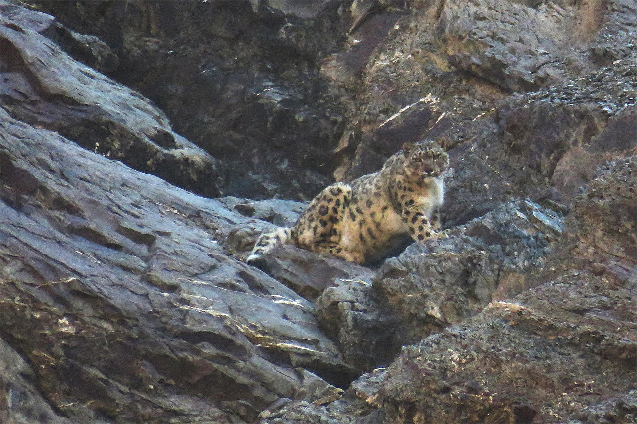 Snow Leopard India Whitehawk Birding
