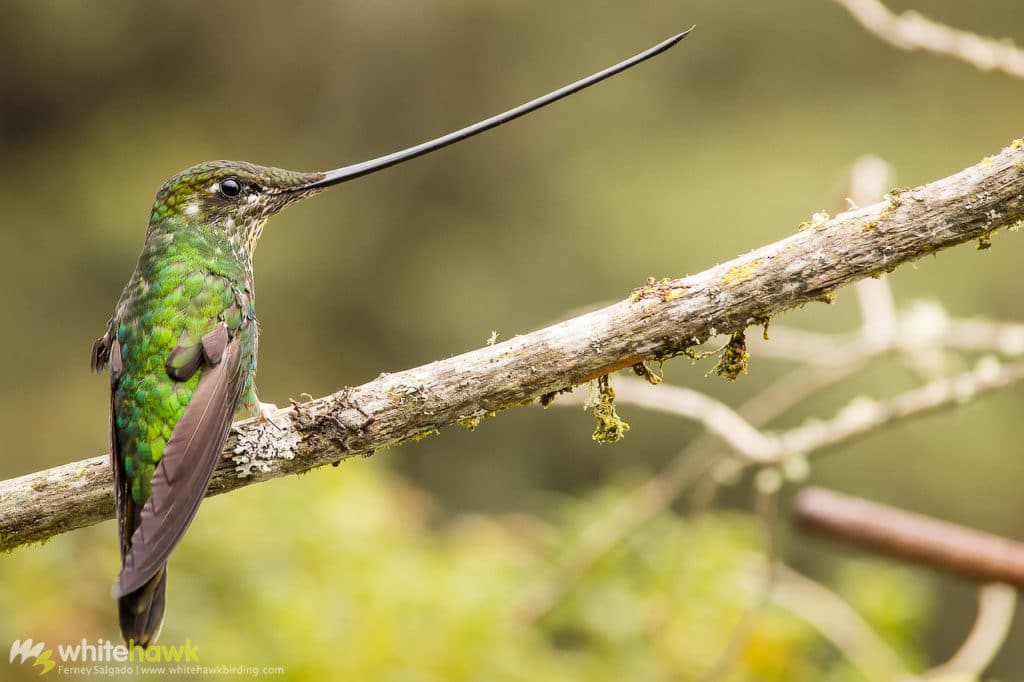Sword-billed Hummingbird Colombia Whitehawk Birding Bird World Records