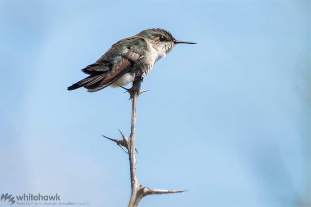 Vervain Hummingbird a Caribbean hummingbird