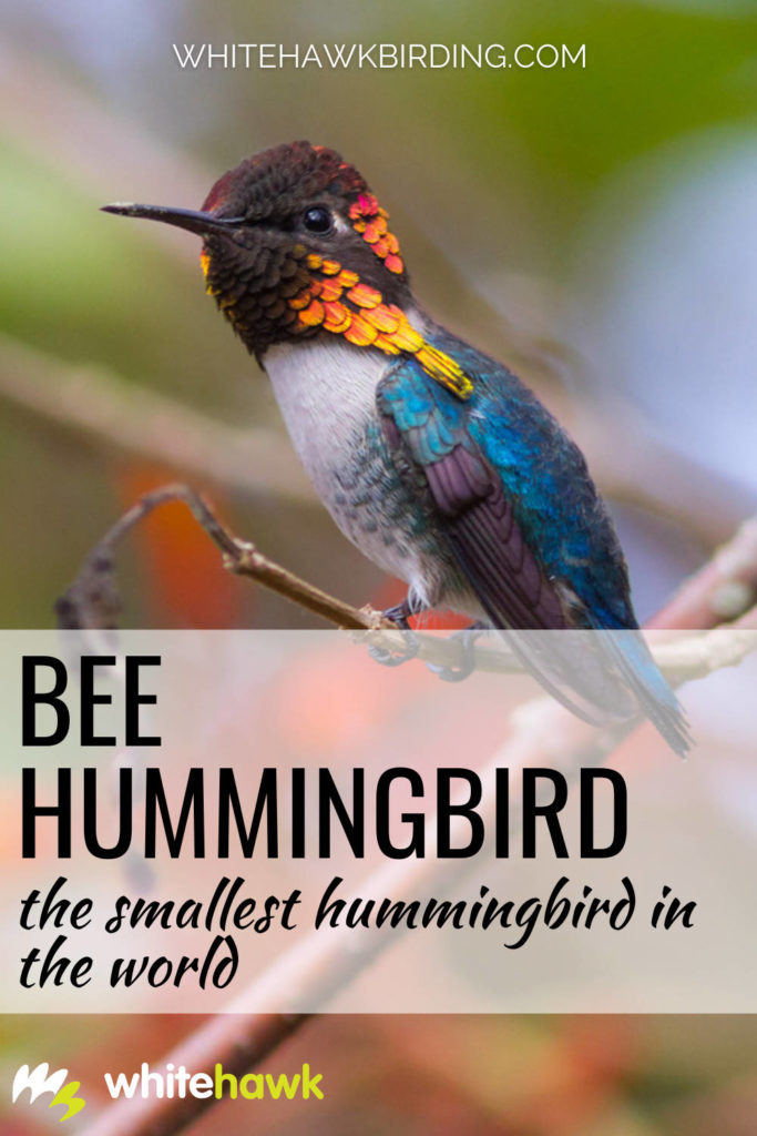 Bee Hummingbird The Smallest Hummingbird in the World - Whitehawk Birding: The tiny Bee Hummingbird is indeed the smallest bird in the world, but just how small is it? Find out all about this amazing Cuban endemic!