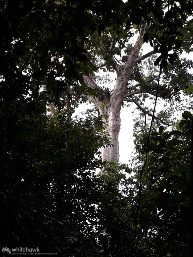 Harpy Eagle nest Panama Whitehawk Birding