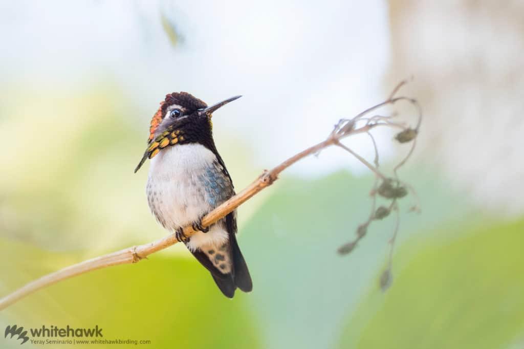 Bee Hummingbird Cuba Whitehawk Birding