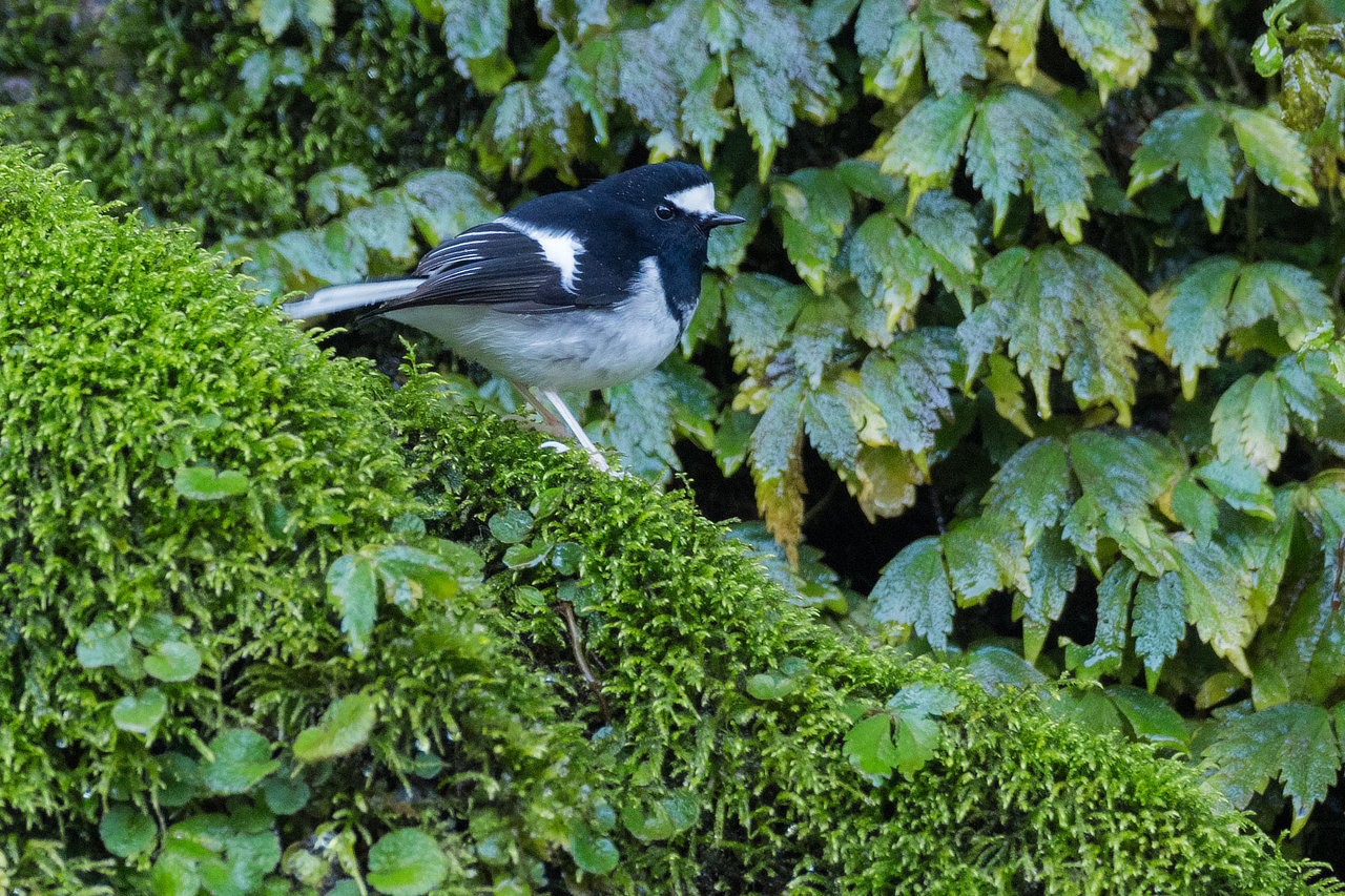 Little Forktail Bhutan Whitehawk Birding Tour