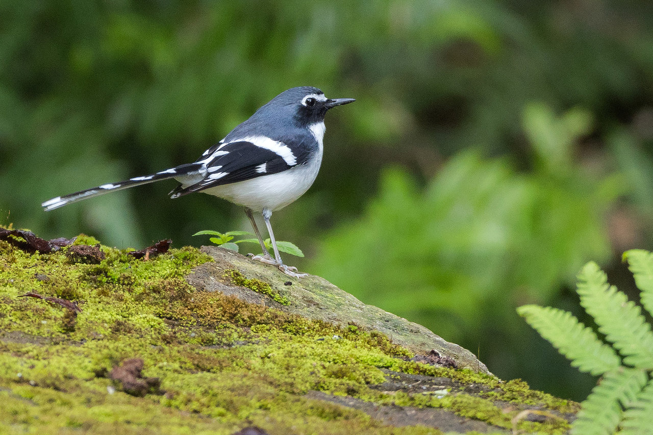 Slaty-backed Forktail Bhutan Whitehawk Birding