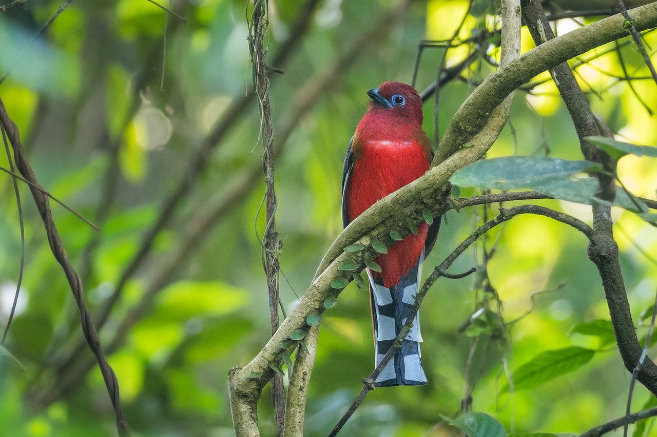 Red-headed Trogon Bhutan Whitehawk Birding Tour