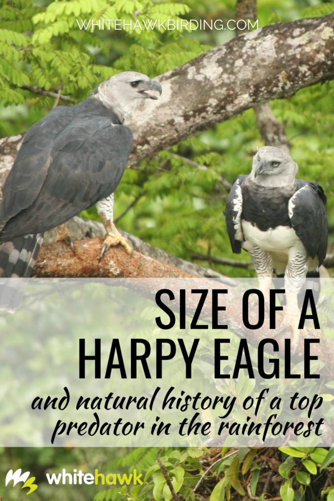 Size of Harpy Eagle and Natural History of a Top Predator in the Rainforest - Whitehawk Birding: Ever wonder just how big a Harpy Eagle is? It is capable of catching and killing large prey such as sloths and monkeys. Find out just how big it is and much more about this amazing bird.