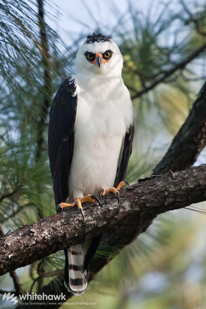 Black-and-White Hawk-eagle Belize Whitehawk Birding