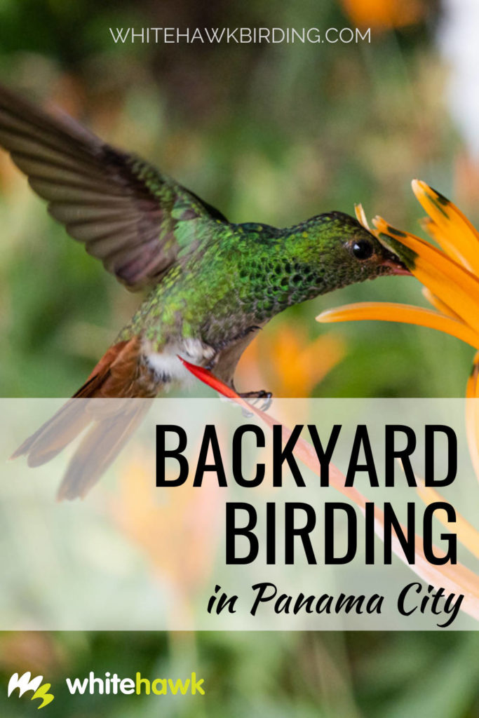 Backyard Birding in Panama City - Whitehawk Birding: Panama City in Panama is a vast concrete jungle, but despite that, there are many amazing birds that can be found right in the city!