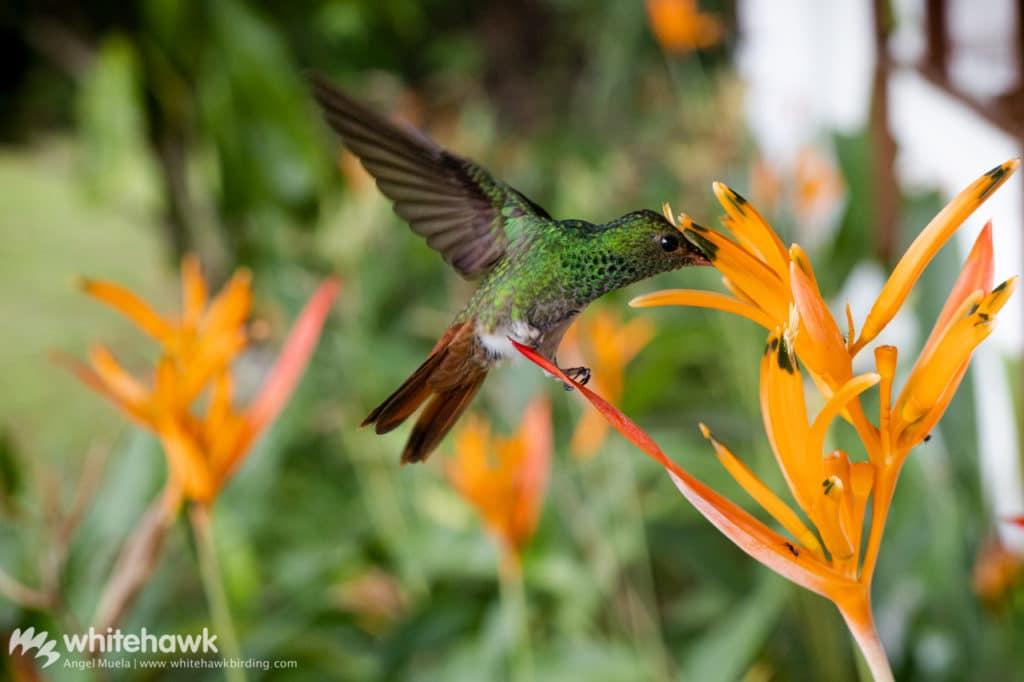 Rufous-tailed Hummingbird is a common bird in backyard birding Panama