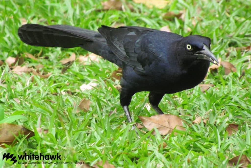 A common bird during backyard birding in Panama City
