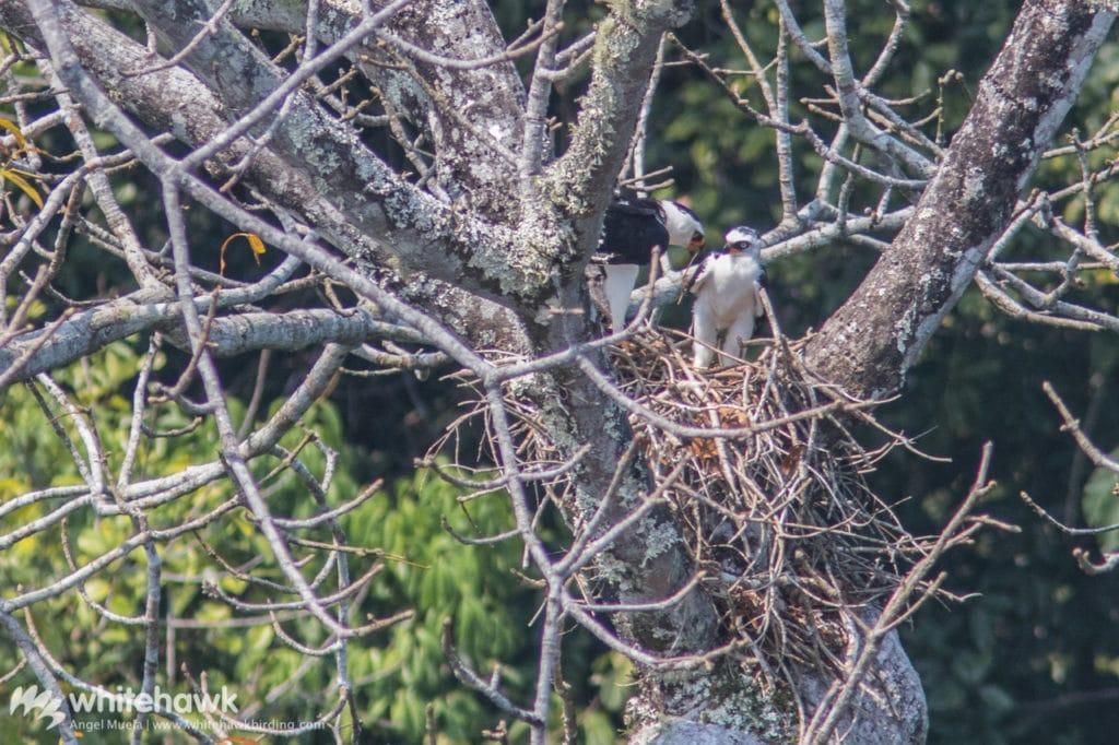 Black and White Hawk-eagle nesting Belize Whitehawk Birding