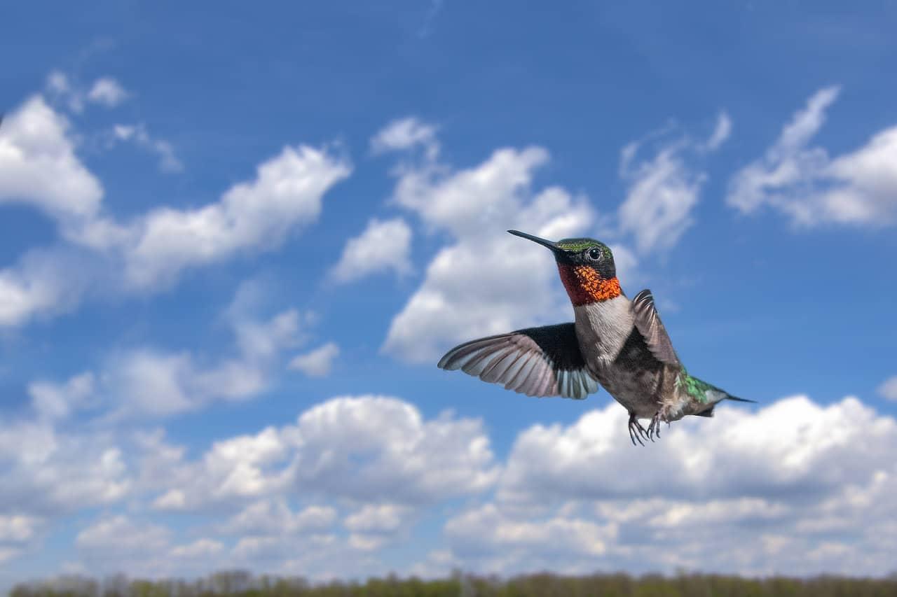 Ruby-throated Hummingbird Hummingbird Migration