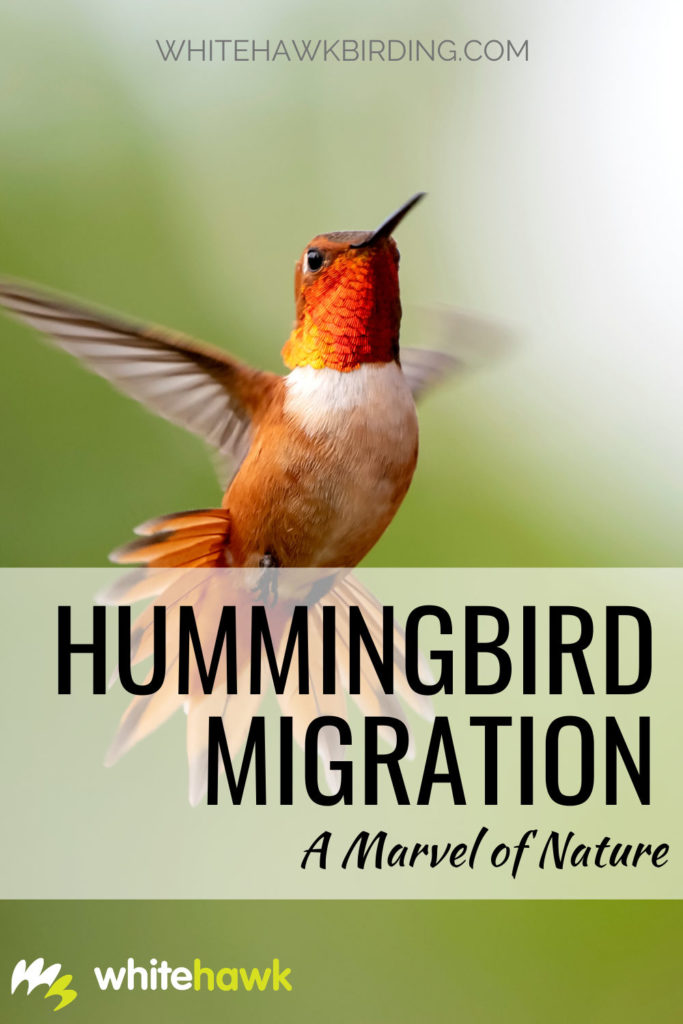 Hummingbird Migration A Marvel of Nature - Whitehawk Birding: Despite being so tiny, many species of hummingbirds make unbelievable, long-distance migrations each year. Learn all about hummingbird migration.