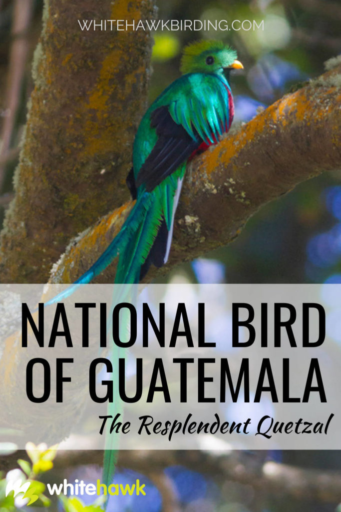 National Bird of Guatemala The Resplendent Quetzal - Whitehawk Birding: Meet the Resplendent Quetzal, considered one of the most beautiful birds on Earth
