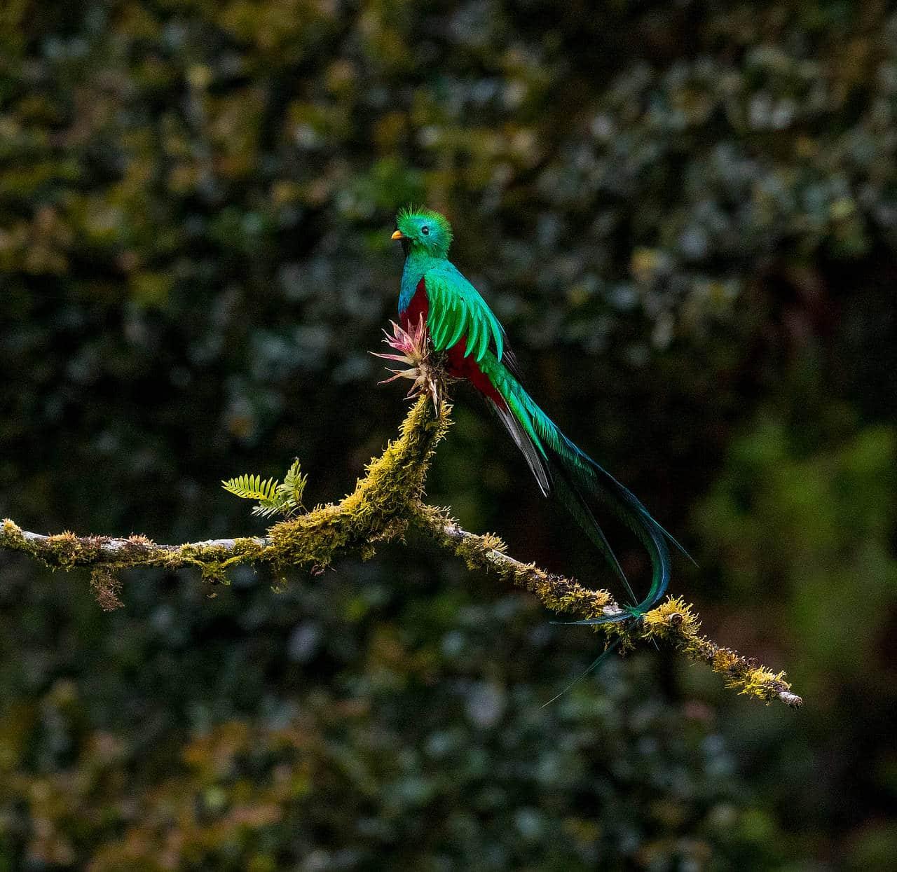 Resplendent Quetzal National Bird of Guatemala Whitehawk Birding