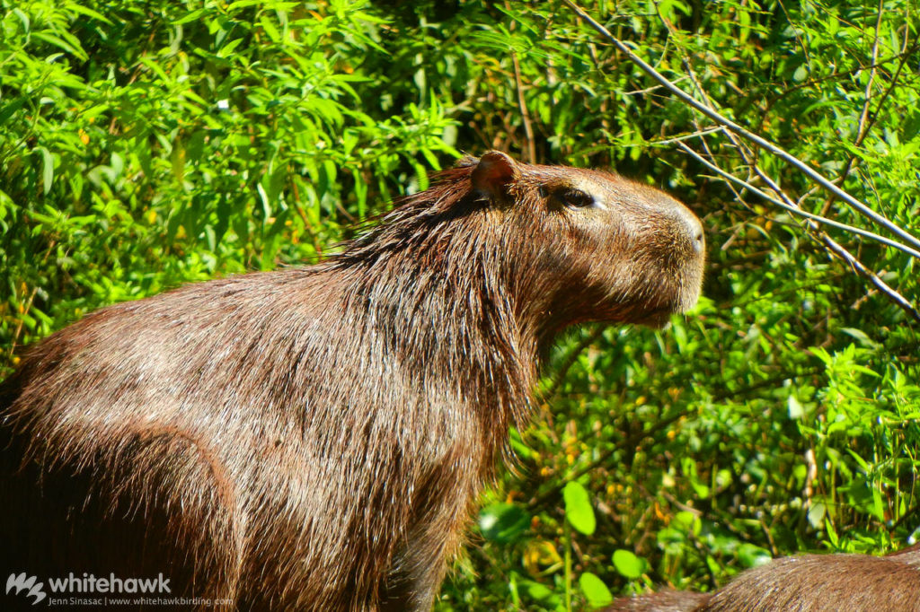 Lesser Capybara Panama wildlife Whitehawk Birding