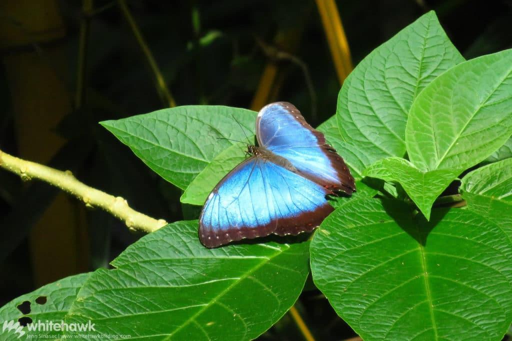 Morpho Butterfly Panama Whitehawk Birding
