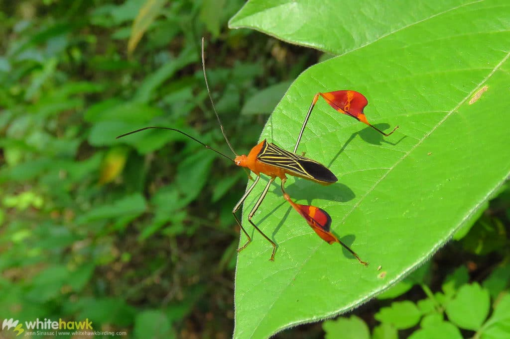 Leaf-footed Bug Panama wildlife Whitehawk Birding