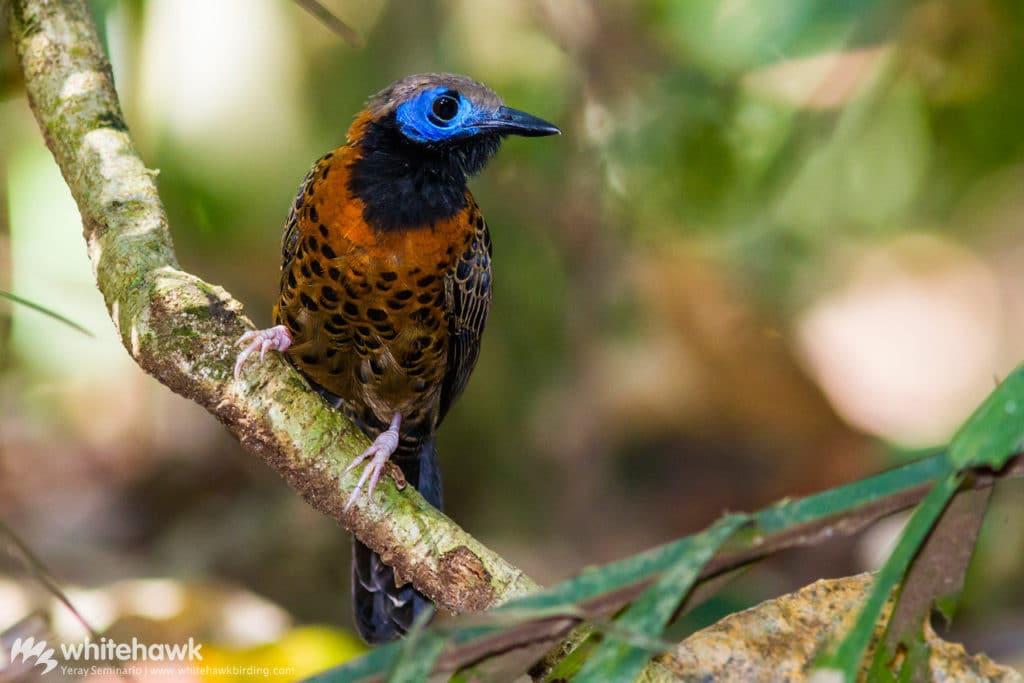 Ocellated Antbird Panama Whitehawk Birding October Big Day