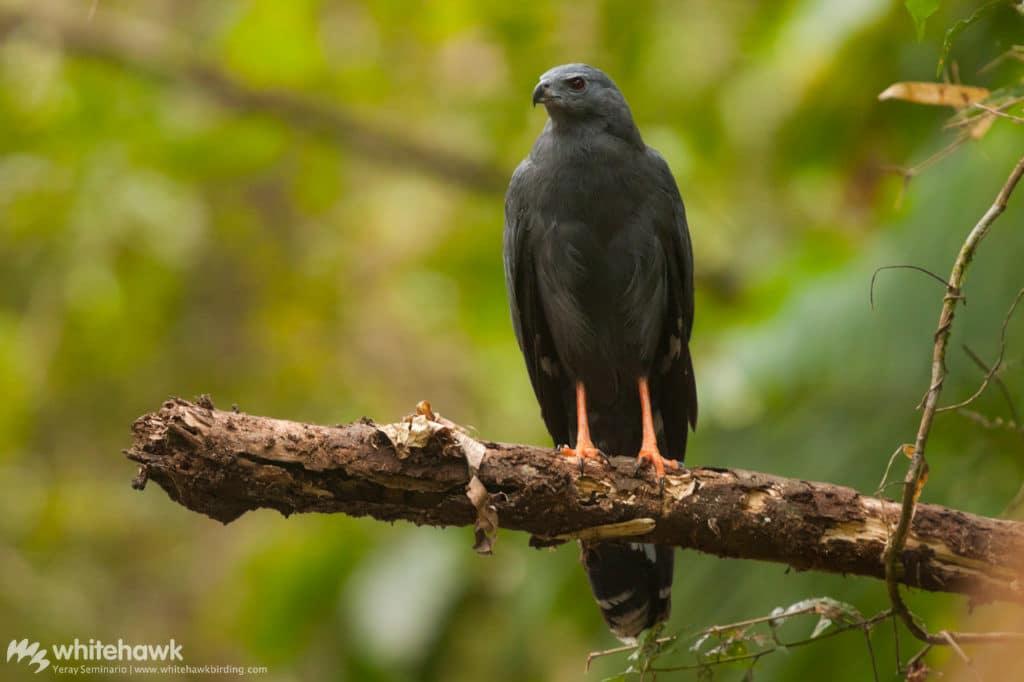 Crane Hawk Panama Whitehawk Birding October Big Day