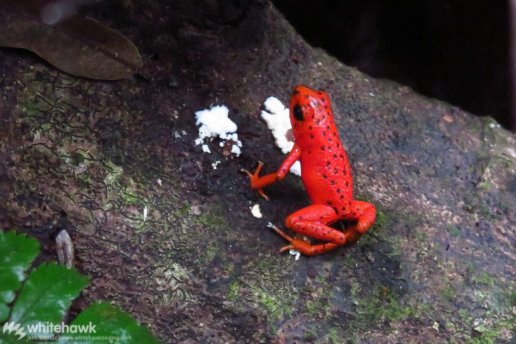 Red Poison Dart Frog Panama Whitehawk Birding