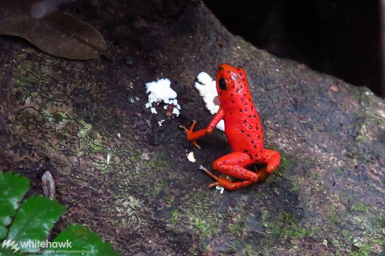 Red Frog Panama Whitehawk Birding