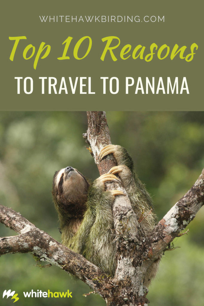 Top 10 Reasons to Travel To Panama - Whitehawk Birding: Panama has many natural, cultural and historical wonders, it's well worth a visit!