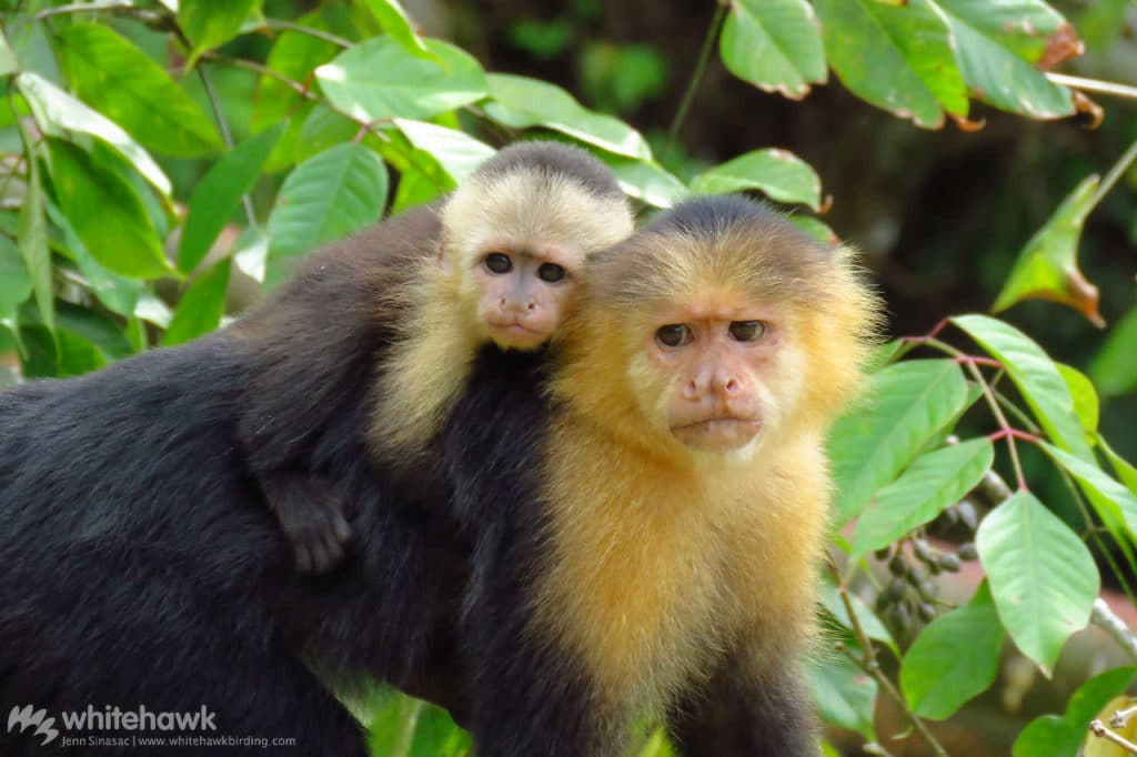 White-faced Capuchin Panama wildlife Whitehawk Birding